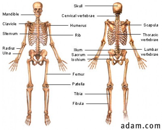Introduction - Skeletal System Webquest